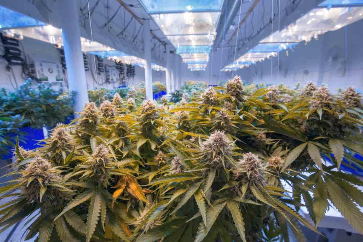 marijuana farm laboratory | Medical Marijuana Stocks To Watch Out For | Inside Your IRA | medical marijuana